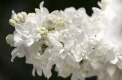 White lilac branch on dark background closeup Stock Photos