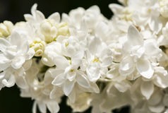 White lilac branch on dark background in spring closeup Royalty Free Stock Photo