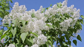 White lilac branches stock footage