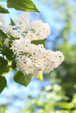 White Lilac Royalty Free Stock Images