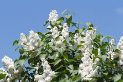 White lilac bush Stock Photo