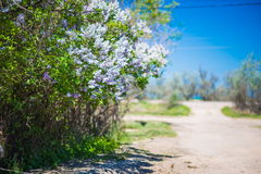 White lilac bush Stock Photos