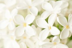 White lilac close-up Stock Photography