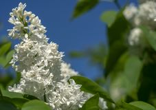 White lilac close-up on blue sky background royalty free stock image