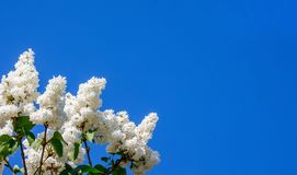 White lilac color on the blue sky background. Copy space_. White lilac color on the blue sky background. Copy space stock images