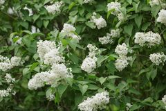 White lilac flower on bush closeup Royalty Free Stock Photos