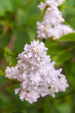White Lilac flower Royalty Free Stock Images