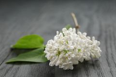 White lilac flower on old oak table Stock Image