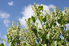 White lilac flower sky background Stock Photos