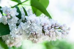 White lilac on a flowering bush, on a natural. Background royalty free stock photos