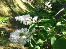 White lilac flowering stock photography