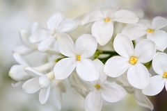White Lilac Flowers Royalty Free Stock Photo
