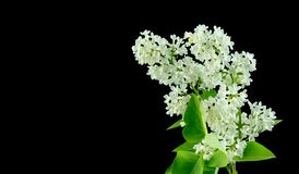 Lilac Flowers. White lilac flowers on black background royalty free stock photography