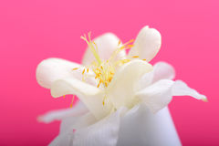 White lilac flowers closeup on red background Royalty Free Stock Images
