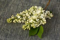 White Lilac flowers Stock Photos