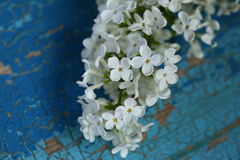 White Lilac flowers Stock Photos