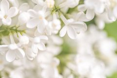White Lilac Flowers. Lilac blossom. White lilac flowering. Spring flowers background stock images