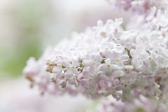 White lilac flowers macro view. Springtime composition. soft focus Royalty Free Stock Photography