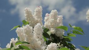 White lilac stock video