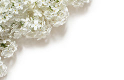 White Lilac Flowers on White stock image