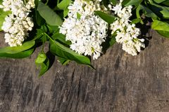 White lilac flowers on wooden background Stock Image