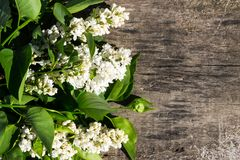 White lilac flowers on wooden background Stock Photo