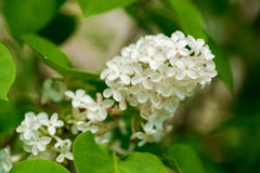 White lilac and green leafs. White lilac flower on the green leafs background with soft focus Stock Photo