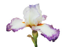 White-lilac iris with orange fringe and blue lip on petals, on green stalk, isolated white background Royalty Free Stock Photos