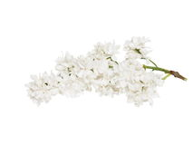 White lilac isolated Royalty Free Stock Photos