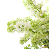 White lilac isolated on white Stock Image