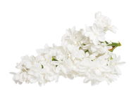 White lilac isolated on white Stock Images