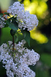 White lilac in June Royalty Free Stock Photography