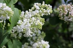 White Lilac, Moscow. Blooming lilac in the park stock image