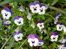 White and lilac pansies in a garden Stock Photo