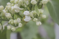 White lilac. Selective focus Royalty Free Stock Photography