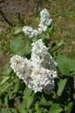 White lilac shrub in bloom in spring. Garden Royalty Free Stock Photos