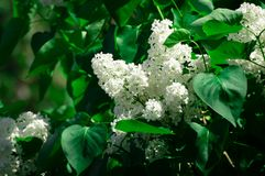 White lilac. In the spring garden Royalty Free Stock Photography
