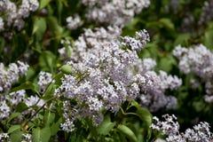 white lilac syringa flowers on soft backrgound Stock Image