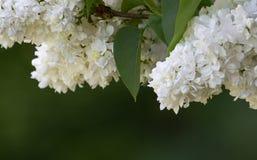 White lilac Syringa. Macro of a white lilac Syringa vulgaris (Oleacea Stock Image
