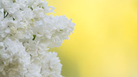 White lilac Syringa vulgaris. Macro of a white lilac Syringa vulgaris (Oleaceae) on a yellow background Royalty Free Stock Photography