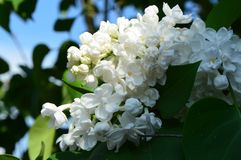 White lilac Syringa vulgaris. White lilac Syringa vulgaris, spring beauty close up royalty free stock images