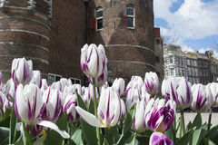 White and lilac tulips near brown castle in Amsterdam in the spring Stock Photo