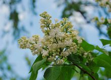 White lilac. Blooming in the Apothecary garden in Moscow royalty free stock photo