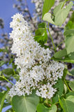 White lilacs and bee Royalty Free Stock Photo