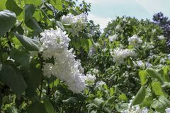 White lilacs blooming in the park. Lilac flowers blooming. Lilac bushes in the sun. Upstate New York in the spring stock image