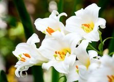 White lilies Royalty Free Stock Images