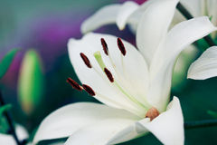 White Lilies. In the garden Royalty Free Stock Images