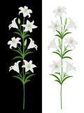 White lilies. On a black and white background Royalty Free Stock Photography
