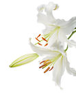 White lilies. Flowers white lilies on a white background Stock Image