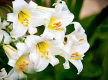 White Lilies Stock Photo